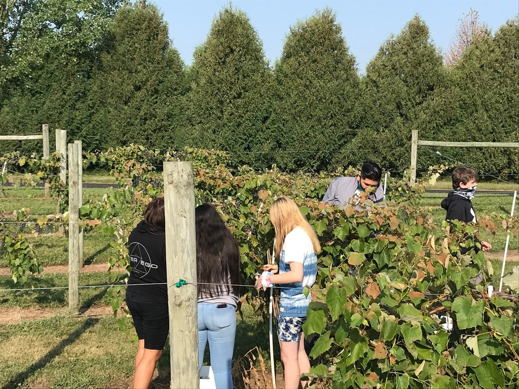 The harvest has begun at the NH FFA Vineyard!